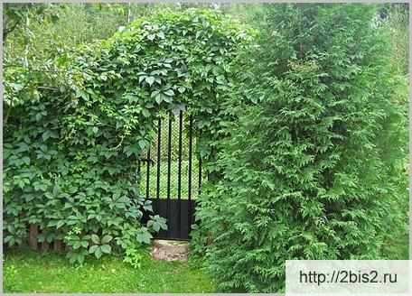 Вертикальное озеленение на даче в фото-1