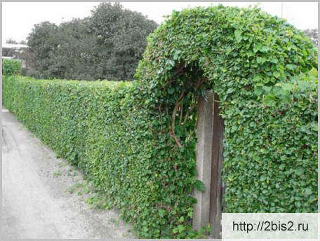 Вертикальное озеленение на даче в фото-4