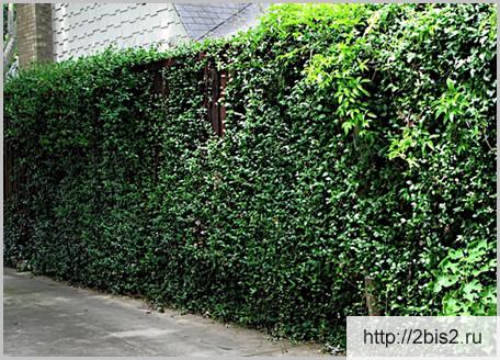 Вертикальное озеленение на даче в фото-5
